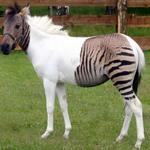 4. Одна из разновидностей зеброидов — помесь зебры и пони. Источник: zoopicture