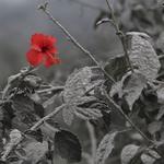7. Гибискус расцвел после извержения вулкана, засыпавшего все вокруг пеплом. Остров Суматра. Источник: taringa.