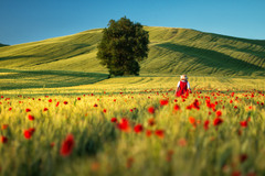 Червоні маки Автор: В'ячеслав