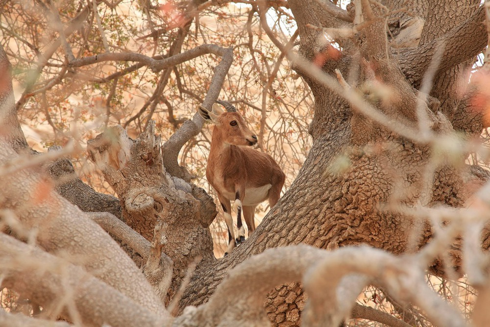 Козлёнок на дереве. Автор: Ольга.