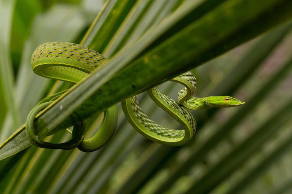 """1 """"Не увядающая лоза"""". Зеленая виноградная змея. Штат Карнатака, Индия. Автор - ASHEESH K CHOPRA."""
