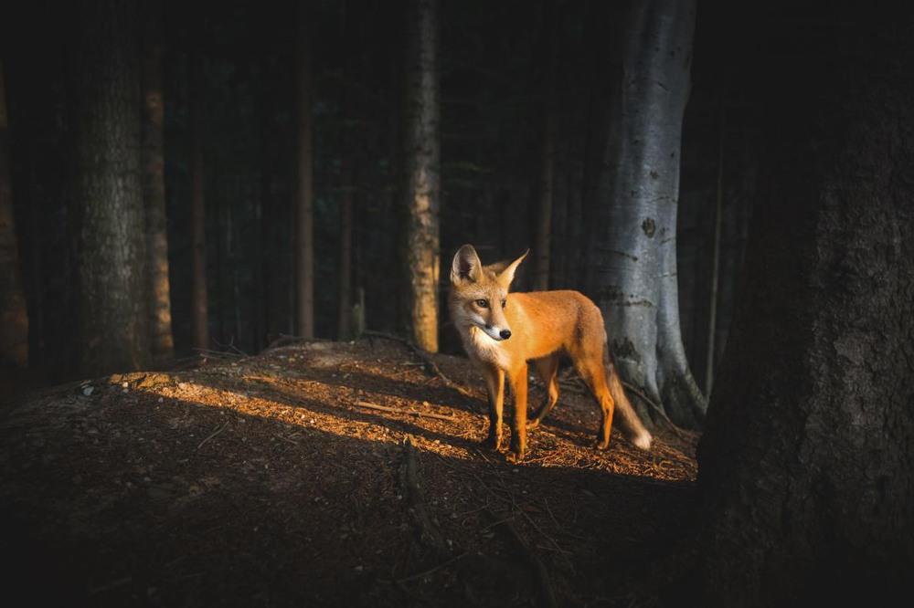 """4 """"Потрясающая встреча"""". Молодой лис в румынском лесу. Автор - MIHAI GAGIU."""