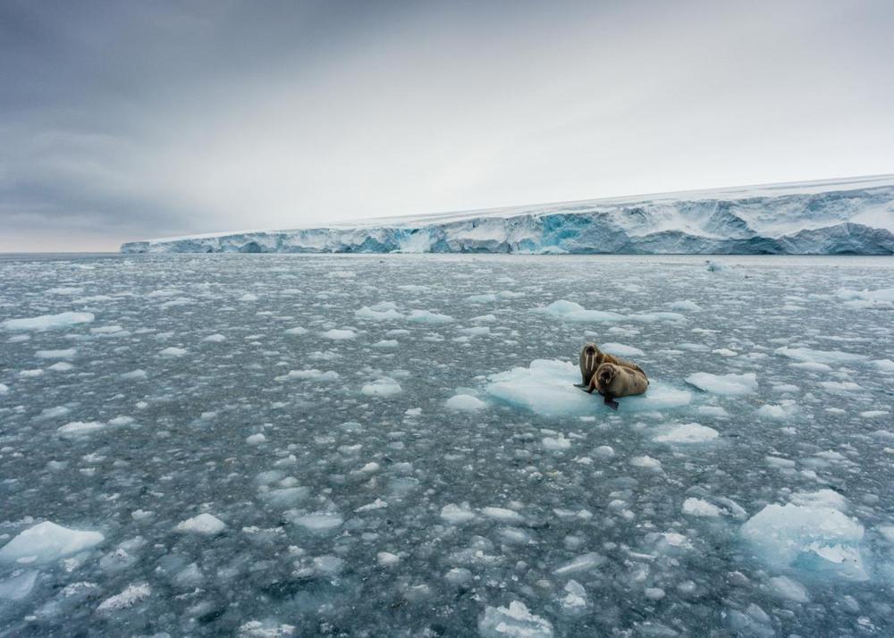"""10 """"На плавучей льдине"""". Моржи на льдине вблизи Шпицбергена - арктического архипелага, расположенного в Северном Ледовитом океане. Автор - CHRISTIAN ASLUND."""