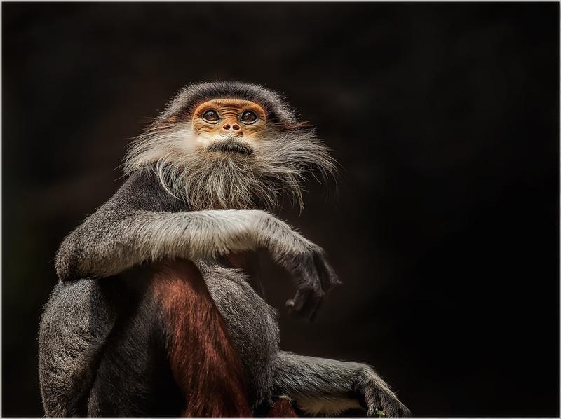 """""""Старичок"""" Капуцин...Я думу думаю о том,как мне избавиться от мыслей...(Марианна Лебедева). Автор: Александр Вивчарик"""