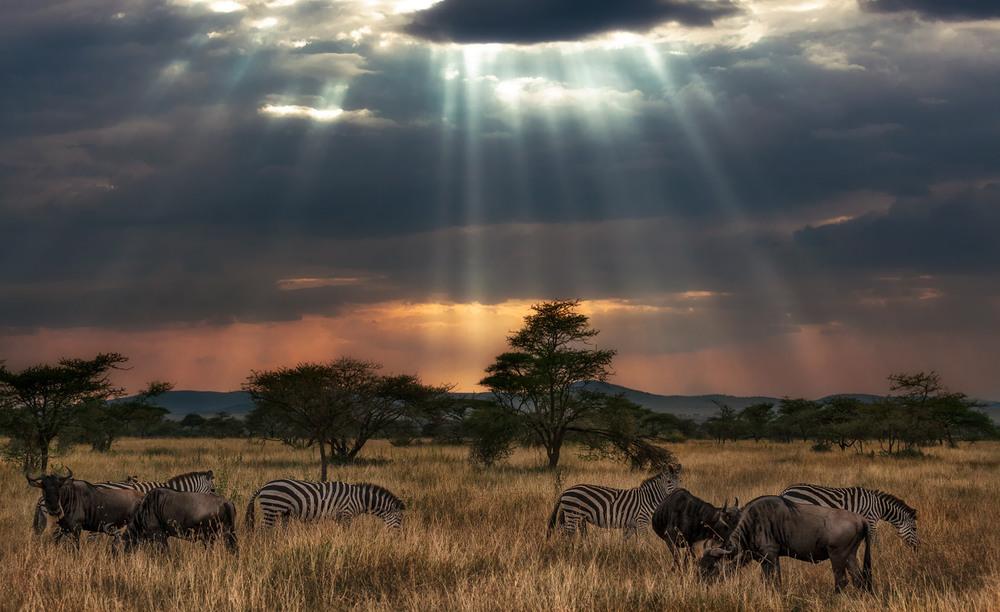 Налетели злые грозовые тучи…саванна...Танзания! Автор: Александр Вивчарик