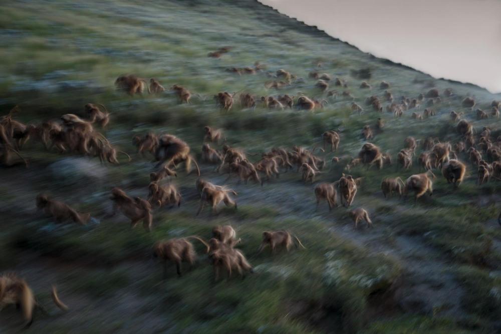 3 Автор: Джеффри Керби и Тревор Бек Фрост. Как только сумерки спускаются на плато Гуасса, гелады сбегают вниз по склону к скалам. Они ночуют среди узких каменистых выступов, где стараются остаться незамеченными для леопардов, гиен и диких собак.