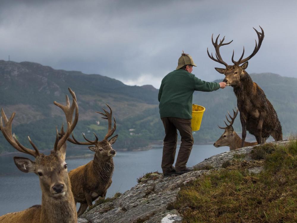 4 Автор: Джим Ричардсон. Колин Мердок, управляющий популяцией оленей в лесу Reraig возле озера Лох Каррон, Шотландия, подкармливает оленей, чтобы стимулировать рост их рогов.