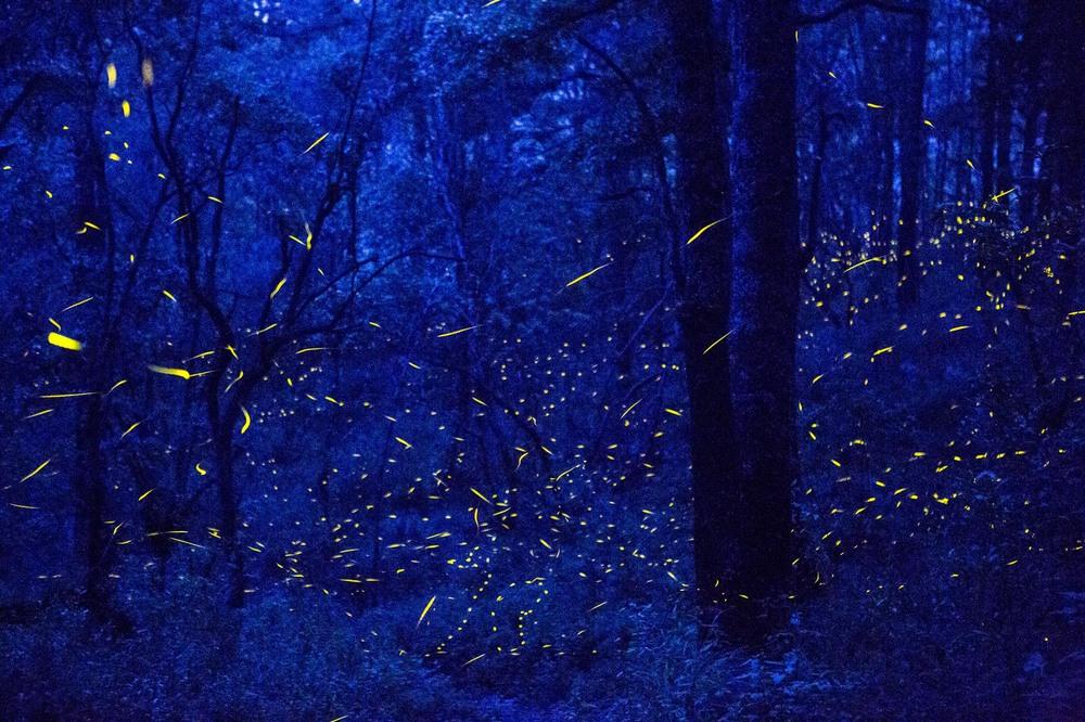 8 Автор: Кирстен Люс. Светлячки в лесу Святилище Санта-Клары.