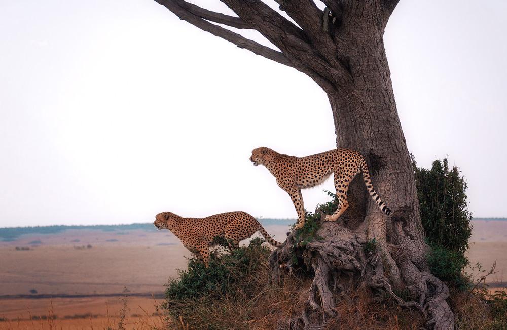"""Братаны""... саванна,Кения! Автор: Александр Вивчарик"