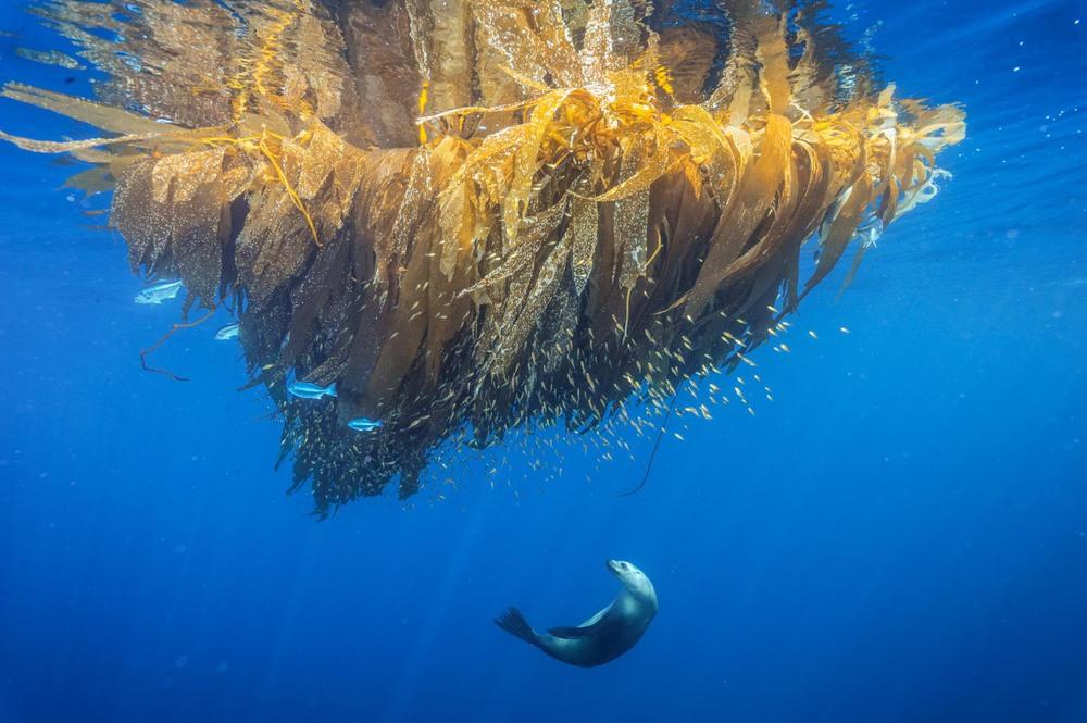 19 Автор: Брайан Скерри. Калифорнийский морской лев охотится на рыбу в водорослях недалеко от Сан-Диего.