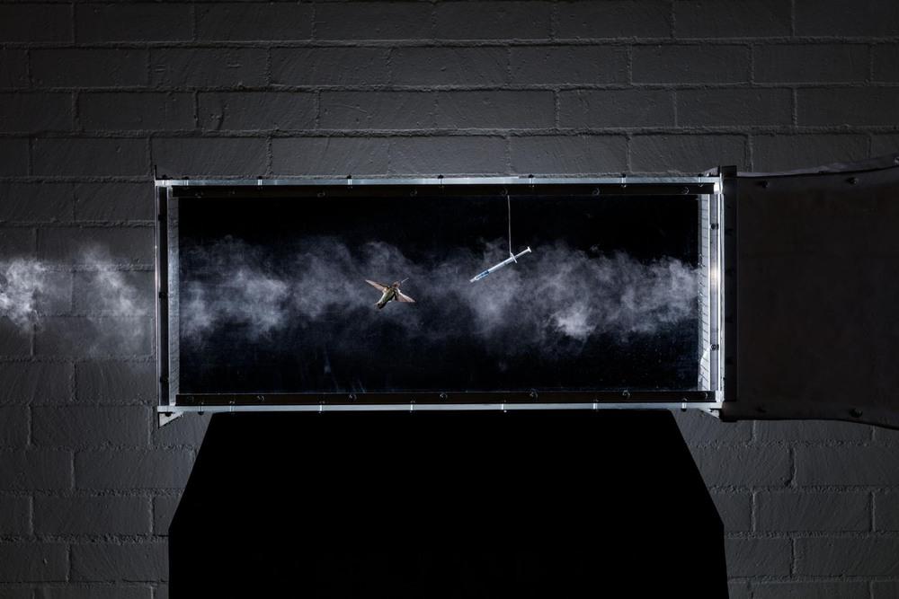 24 Автор: Ананд Варма. Поместив колибри в аэродинамическую трубу, исследователи изучают её механику полёта на скорости до 56 километров в час. Этот черногорлый архилохус в Калифорнийском университете в Риверсайде задействован в эксперименте по тестированию физических способностей птицы. (Источник: Шон Уилкокс и Кристофер Кларк.)