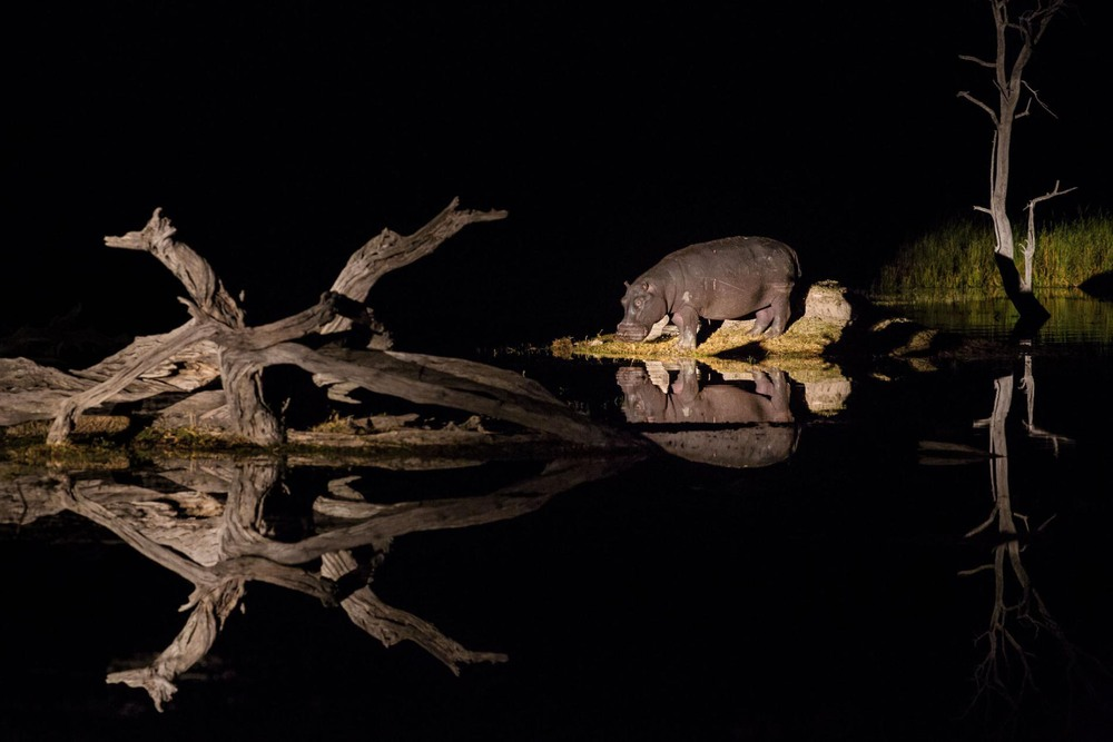 25 Автор: Кори Ричардс. Бегемоты, широко распространённые в дельтах рек, где они находят пропитание, по ночам пасутся на суше, а днём отдыхают в воде. Самцы сражаются за территорию, самки защищают своих детёнышей. Их длинные клыки смертельно опасны для незваных гостей.