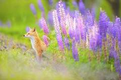 1 Цветочная лисица. Автор - Takahiro Sato