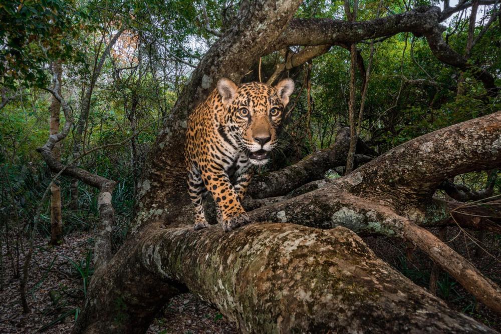 27 Автор: Стив Уинтер. 10-месячного ягуара засекла камера-ловушка, когда он возвратился на дерево в бразильской области Пантанал. Это крупнейшее тропическое заболоченное место в мире и одно из последних убежищ ягуаров.