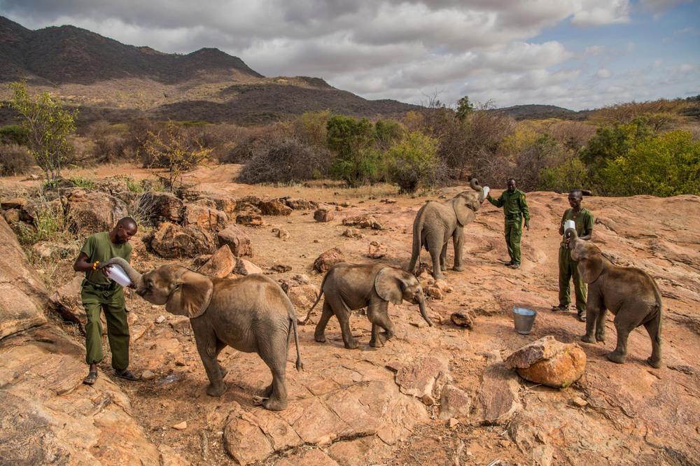 29 Автор: Эми Вайтали. Время кормления голодных сирот в слоновьем заповеднике Reteti на севере Кении. Заповедник основали в прошлом году, работают здесь местные жители самбуру.