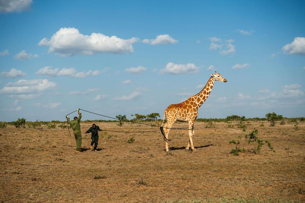 30 Автор: Эми Вайтали. Учёные собрали в общей сложности 11 жирафов в природном заповеднике Лоисаба и в природоохранной зоне Лепаруа.