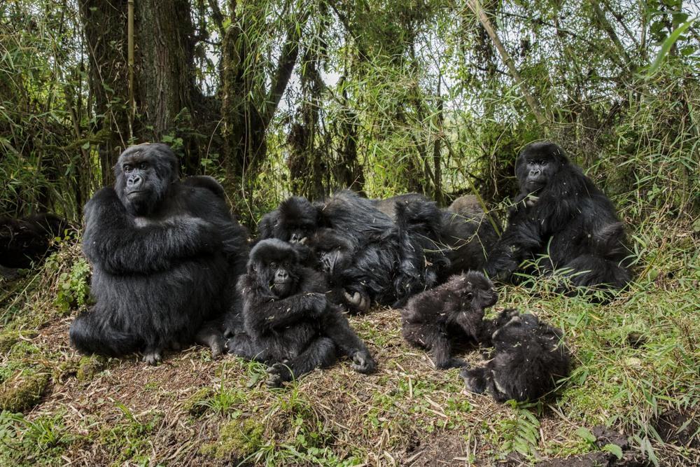 49 Автор: Ронан Донован. Если бы Дайан Фосси не защищала так яростно горилл и их среду обитания, то эти обезьяны, отдыхающие на склонах спящего вулкана Карисимби, вероятно, не дожили бы до наших дней. Но методы Фосси вызвали враждебное к ней отношение со стороны многих местных жителей.
