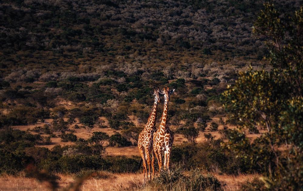 На свидании...утро, саванна. Кения! Автор: Александр Вивчарик