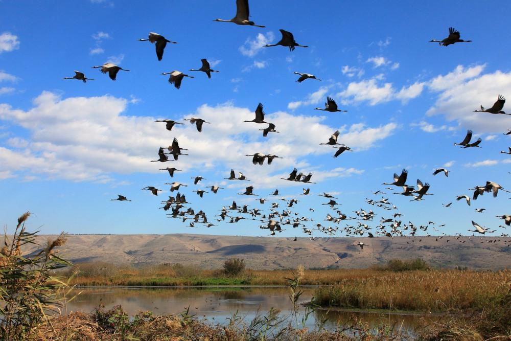 Снова птицы в стаи собираются, ждёт их за моря дорога дальняя... Автор: Ольга.