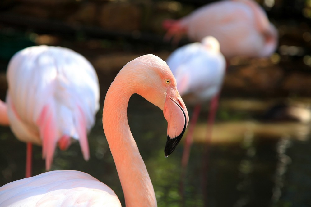 Фламинго. Автор: Ольга.