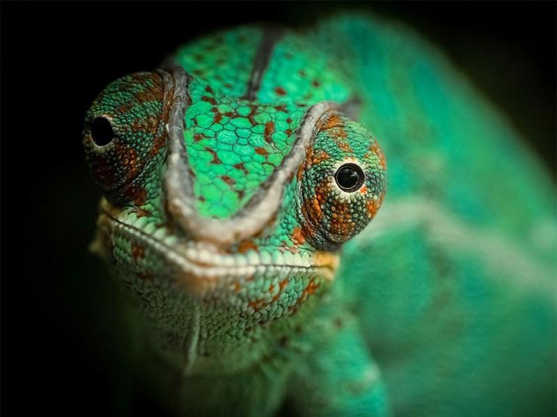 "6 ""Green Day"". На снимке хамелеон. Фото сделано во Франции. Автор - Николас Ле Буленгер."
