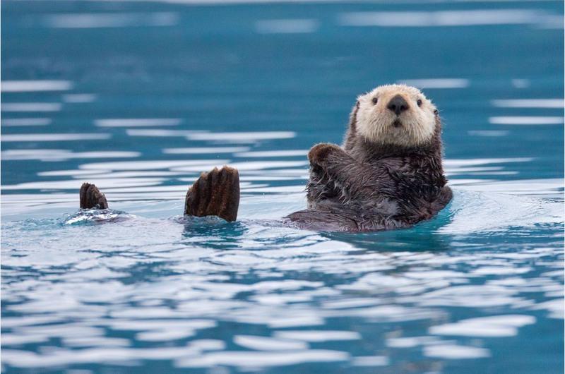 "13 ""Curious otter, snack time"". Аляска, США. Автор - Роман Голубенко."