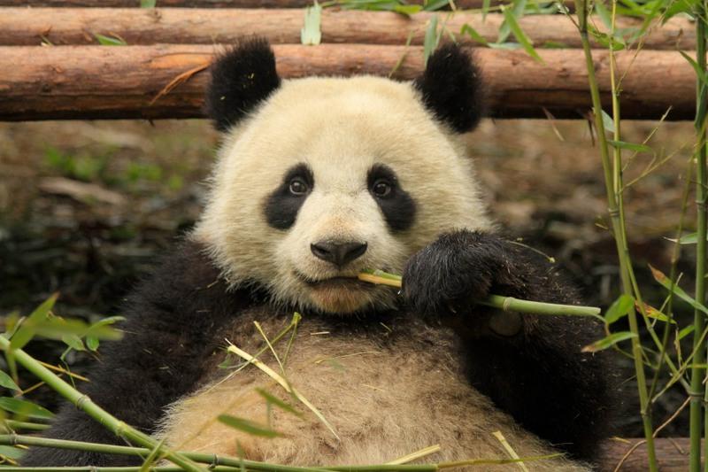 19 На снимке панда, которая притворилась беременной чтоб получать больше еды. Китай. Автор - Ла Приз.