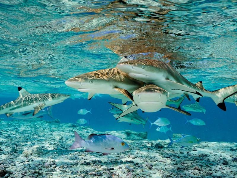 21 Черноперые акулы, США. Автор -  Брайан Скерри.