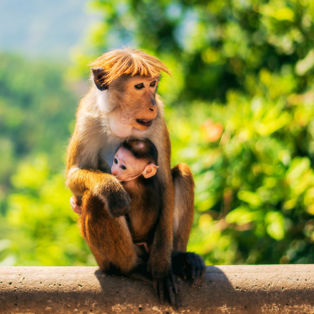 21. Місцеві мавпи.