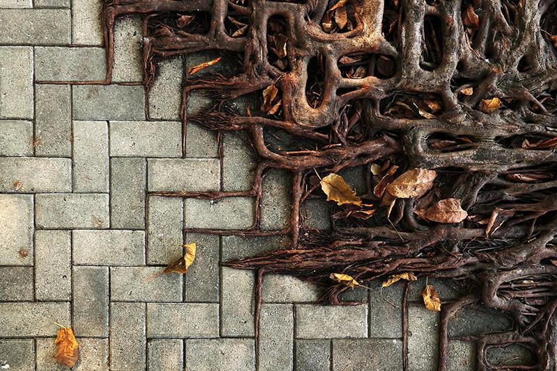 13 Корни дерева повторяют рисунок кирпичного тротуара. Источник: Wei-Feng Xue