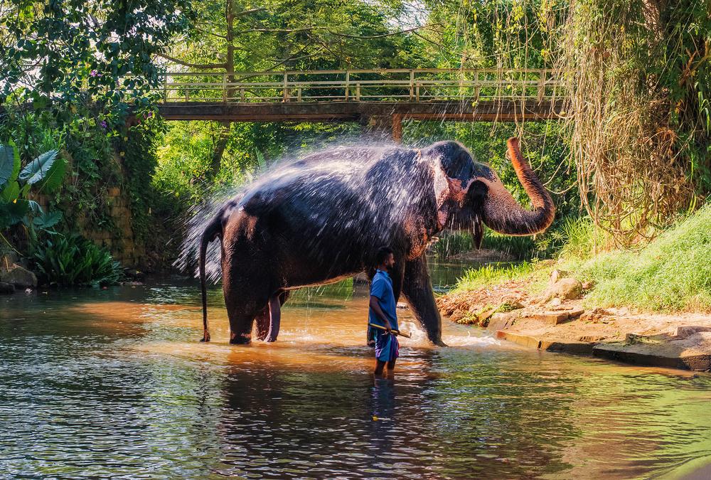 28. Дикі слони які були спіймані та відправлені в притулок, також зайняті розважанням туристів.
