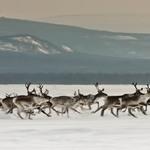 4 Один из главных промыслов здесь — охота на оленей