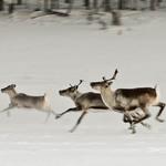 6 Один олень — это 50–70 кг мяса. А олений язык — местный деликатес.
