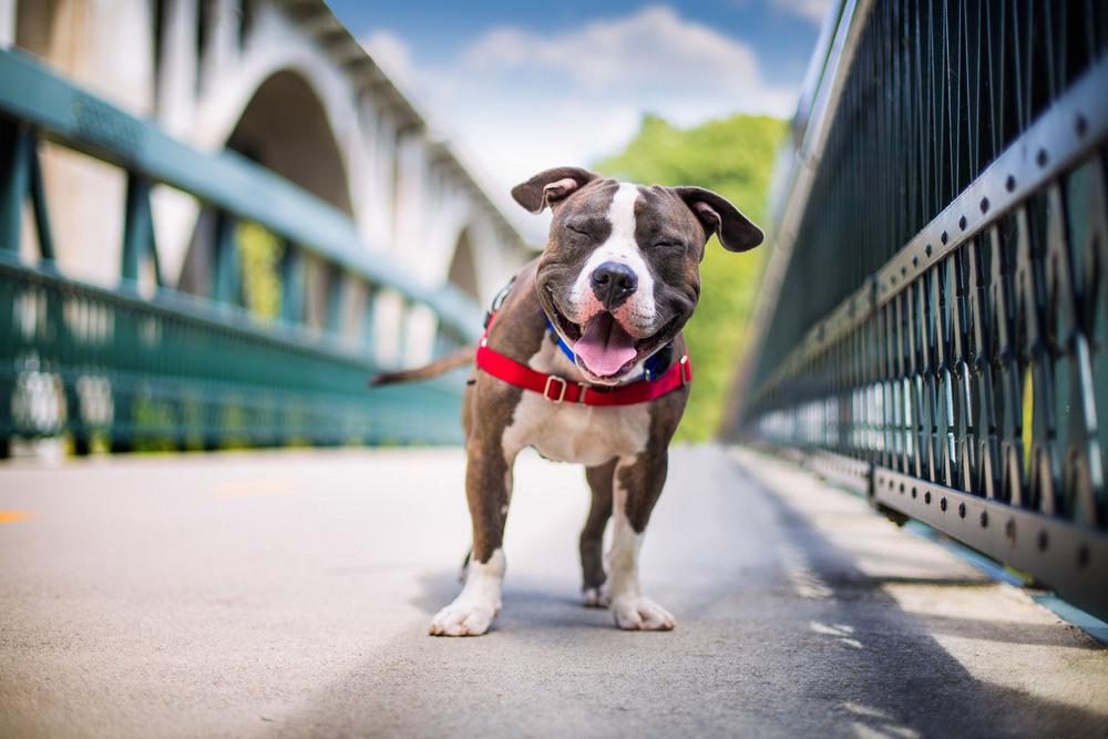 5 Третье место в категории «Поисково-спасательные собаки» Питбультерьер Джошуа, взятый из приюта в Бостоне, штат Массачусетс. Автор фото: Кейли Грир.