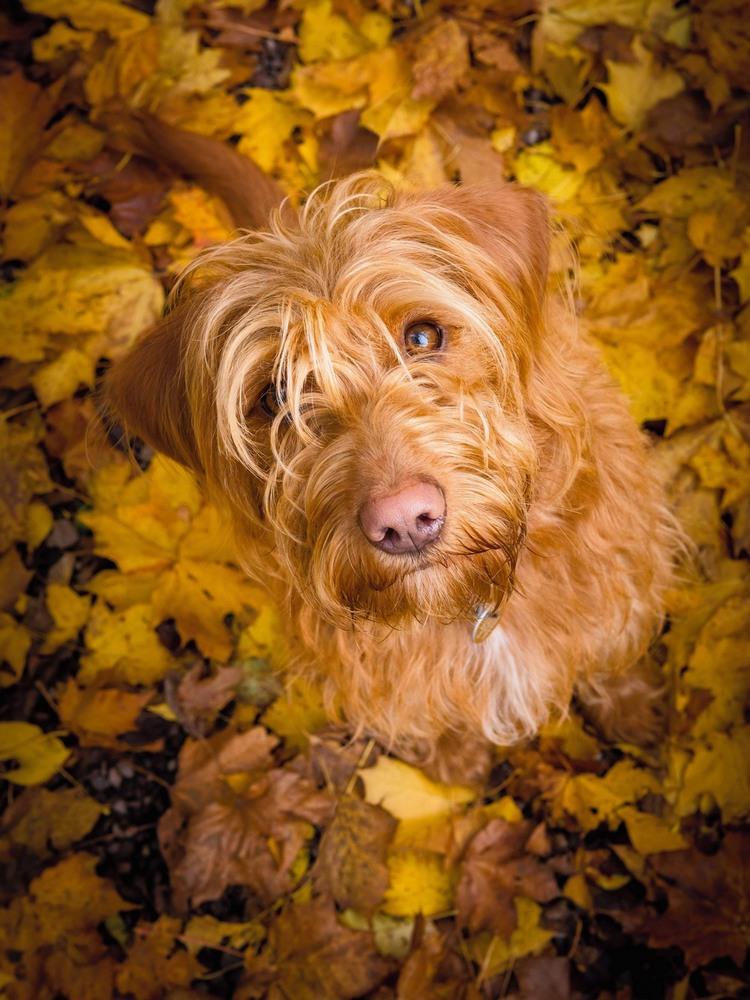 6 Третье место в категории «Портрет собаки» Эта фотография молодого лабрадудля называется «Белла в осенних листьях». Автор фото: Ноэль Беннетт.