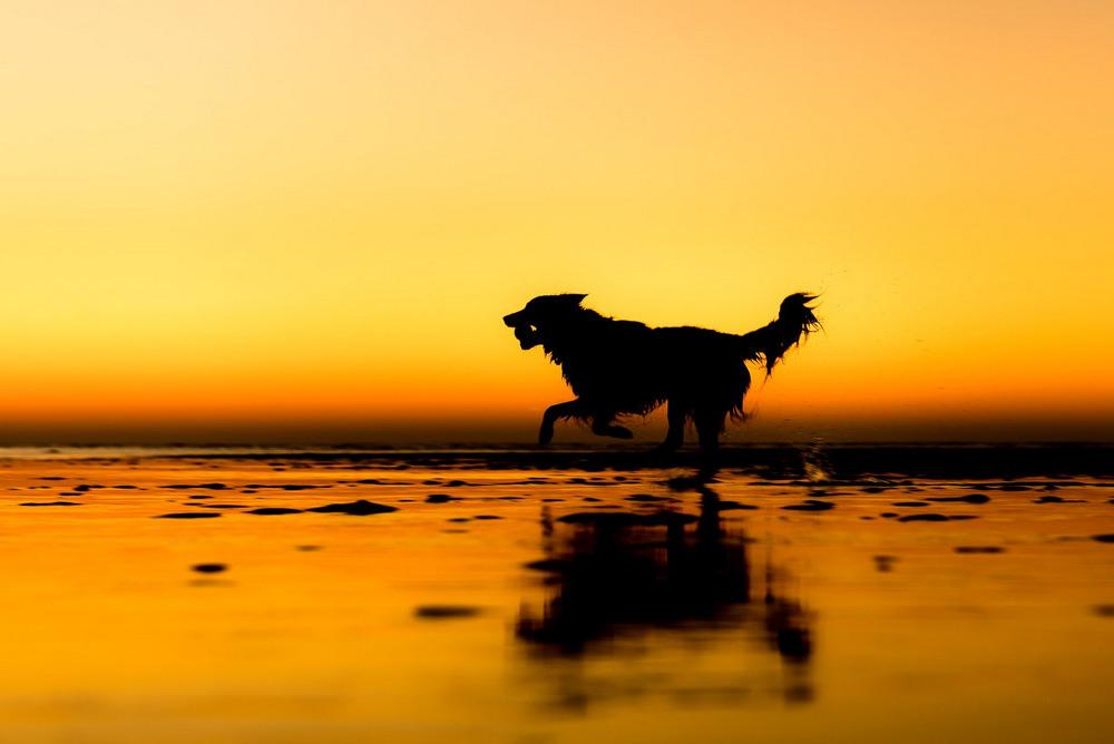 10 Второе место в категории «Собаки-спасатели» Муха бежит с мячом на побережье Норфолка. Его прежние владельцы отдали пса на ферму, где он помогает пасти коров. Теперь он живёт в новой семье в Пик-Дистрикт. Автор фото: Мартин Тош.