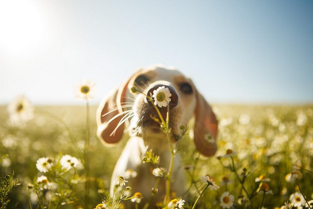 12 Второе место в категории «Играющие собаки» Лейка нюхает цветок в ромашковом поле недалеко от города Куритиба, Бразилия. Автор фото: Родриго Капуски.