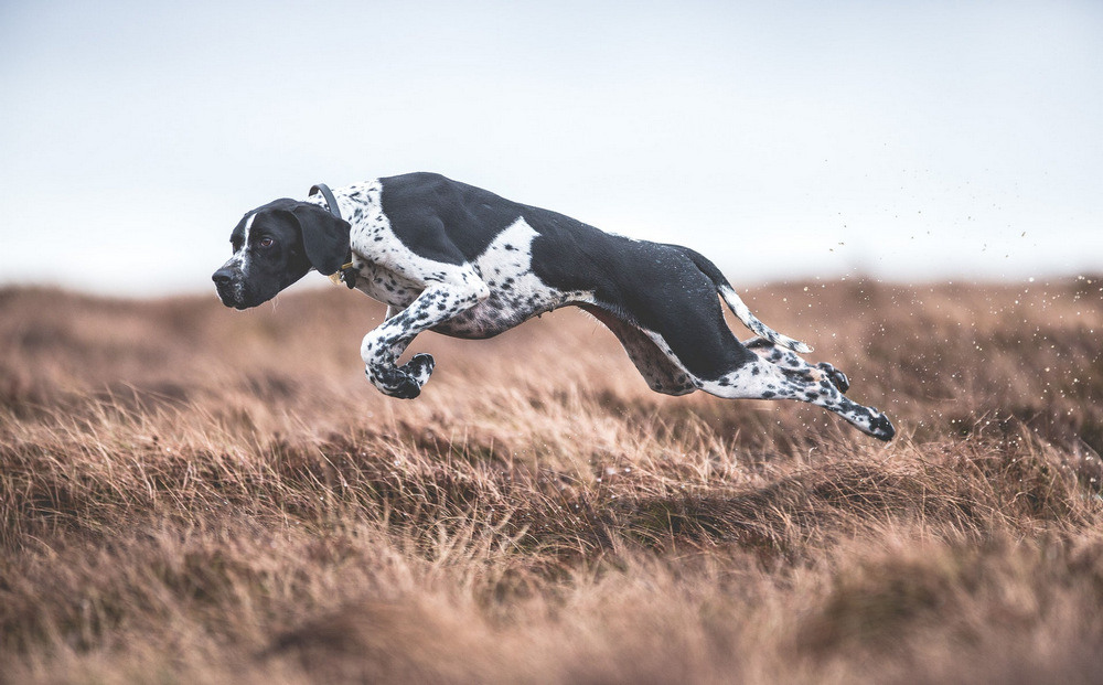 13 Первое место в категории «Собаки на работе» Пойнтер Рита в графстве Дарем. Автор фото: Сара Колдекотт.