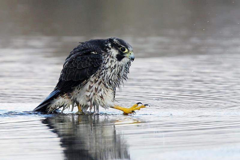 Peregrine Falcon Автор: Владимир Калиновский