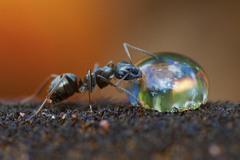 1 На снимке муравей пьет каплю сладкого сиропа на камыше. Автор - Ирина Козорог.
