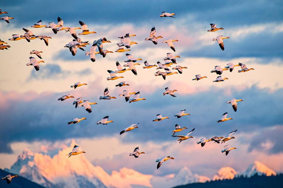 11 Категория «Окружая среда», 2 место. Стая гусей на острове Фер. Автор: Yoshiki Nakamura