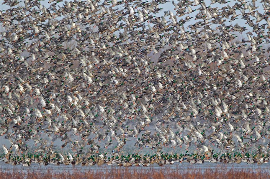 14 Утки на пруду. Автор: Terrence Bond