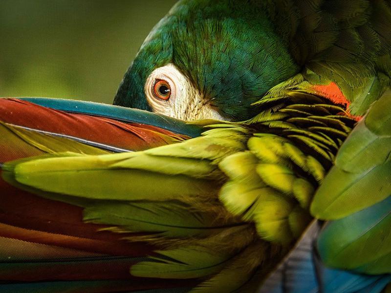 """1 """"Цветной экран"""". Автор - Trudy Walden. На снимке попугай Ара, средой обитания которых является Аргентина, Бразилия и Парагвай."""