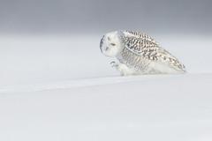 1. Белая сова. Квебек, Канада. Автор - Dominic Roy.