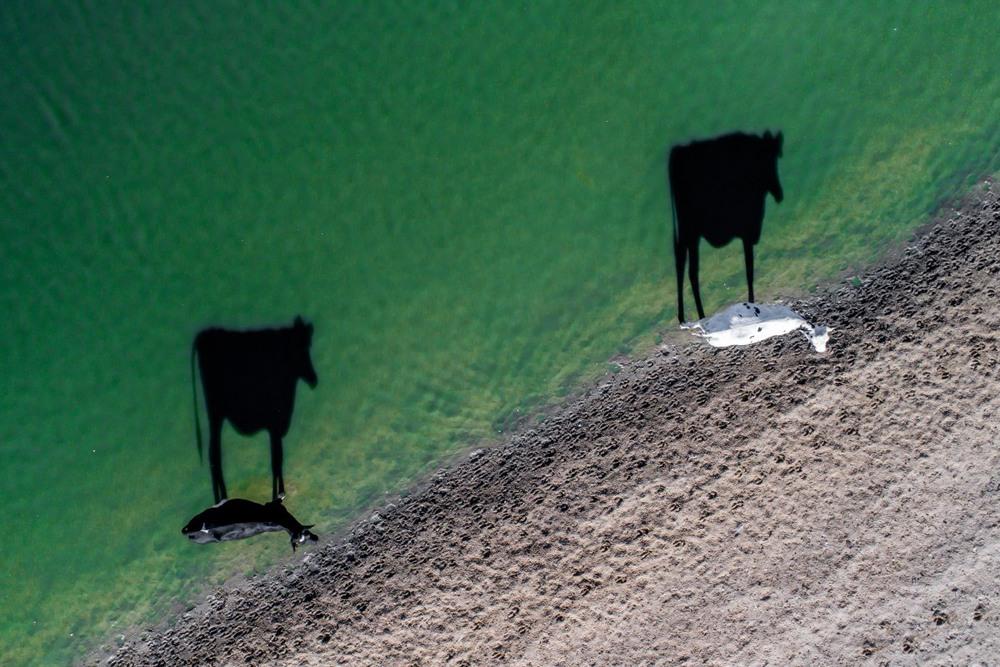 3 Победители в категории «Креативность» Две коровы. Автор фото: LukeMaximoBell