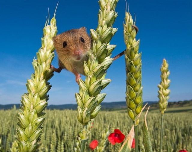 Изжизни полевых мышей