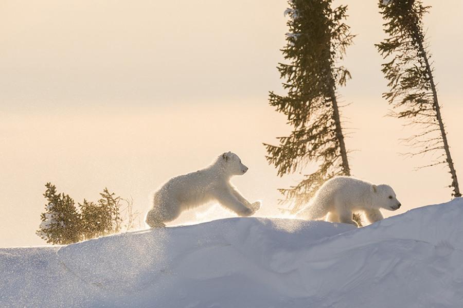 6 Фотограф дикой природы  Дейзи Джилардини запечатлела в Канаде особое событие-момент,когда полярные медведицы впервые выходят на свет с четырехмесячными детенышами,ради такой фотографии она провела  13 суток в парке Вапуск 117 часов возле медвежьей берлоги при средней температуре -50 градусов С
