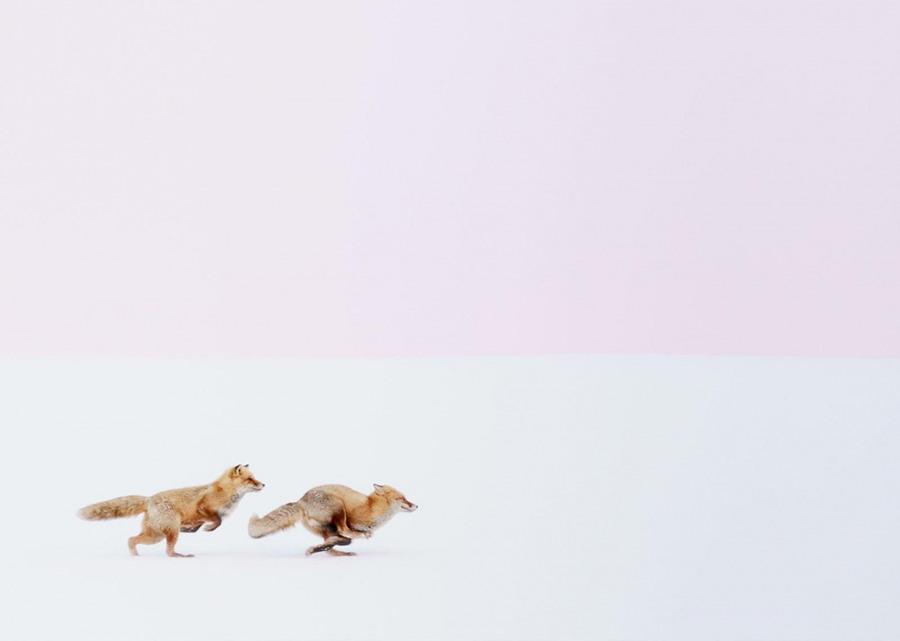 12 Этих обаятельных лисичек на острове Хоккайдо запечатлел японский фотограф Хироки Иноуэ (Hiroki Inoue). Снимок «Куда бы ты ни пошел, я буду следовать за тобой» завоевал 1-е место в категории «Природа» престижного международного конкурса National Geographic Travel Photographer 2016, проведенного журналом National Geographic.