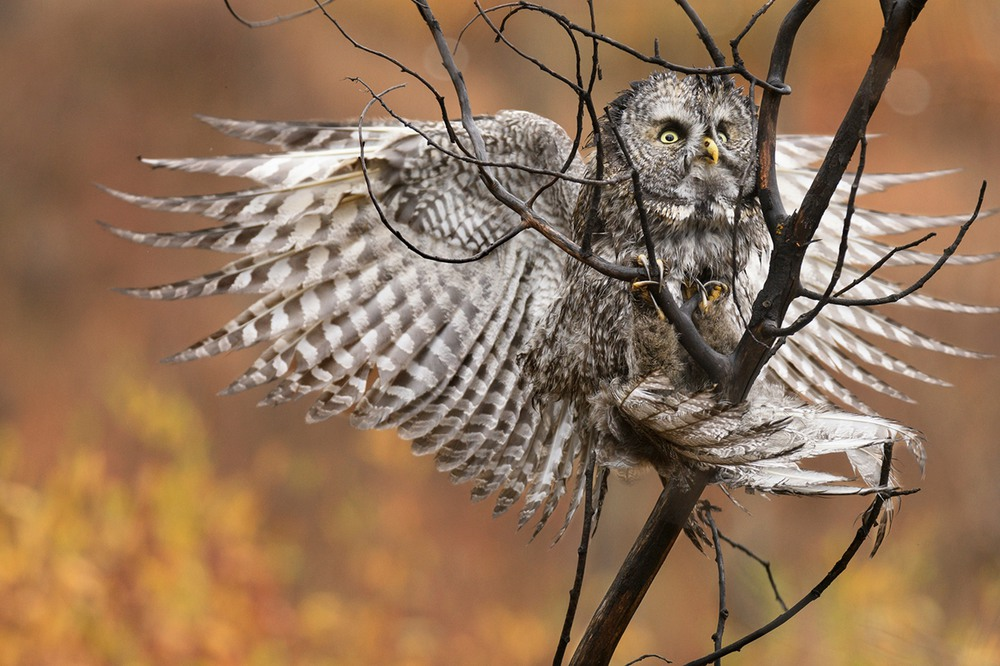 2 Бородатая неясыть. Длина тела птицы достигает 80 см, размах крыльев — 1,5 м. Обитает в таёжной зоне, иногда в горных лесах. Фото Steve Mattheis