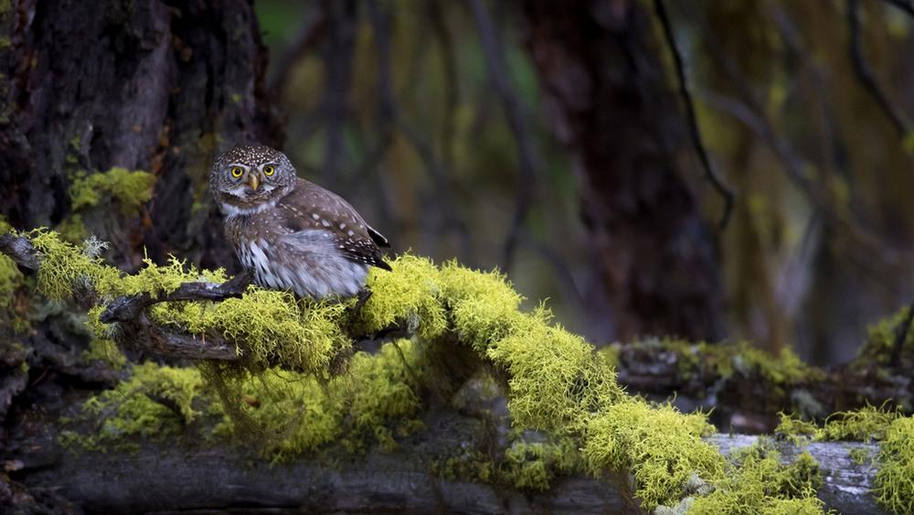 5 Калифорнийский воробьиный сыч. В отличие от многих родственных видов, которые охотятся ночью или в сумерки, полагаясь на слух или ночное зрение, калифорнийский сыч охотится днём и полагается в основном на своё зрение. Ещё одно отличие этого сыча от других сов — его шумный полёт. Фото Mary Madden